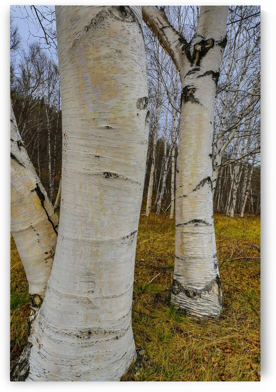 White Birch ap 2243 by Artistic Photography