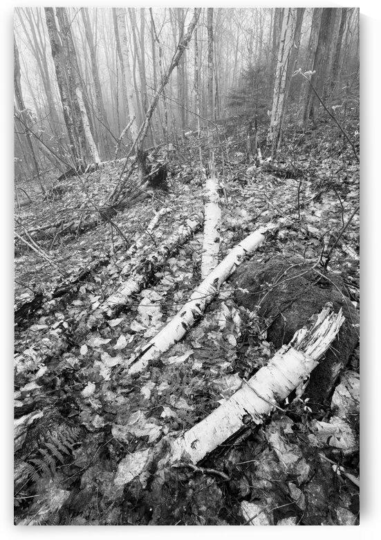 White Birch ap 2186 B&W by Artistic Photography