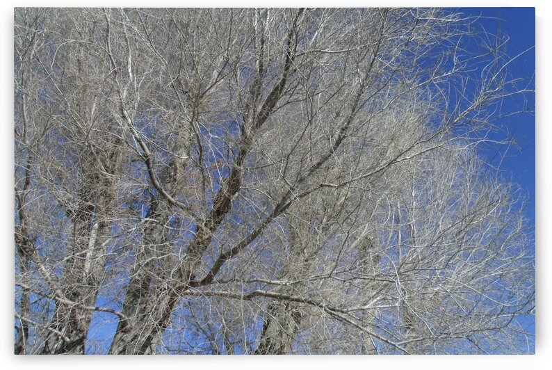 Winter Trees And Blue Sky 1 by Sherrie Larch
