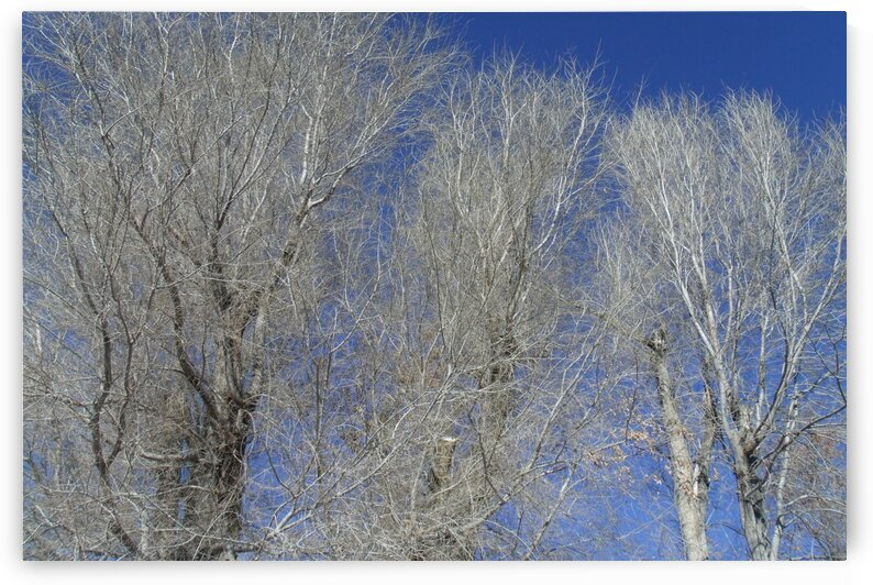 Winter Trees And Blue Sky 2 by Sherrie Larch