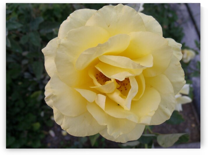 A Yellow Rose 1 by Sherrie Larch