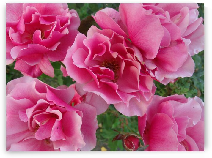 Five Pink Roses  by Sherrie Larch