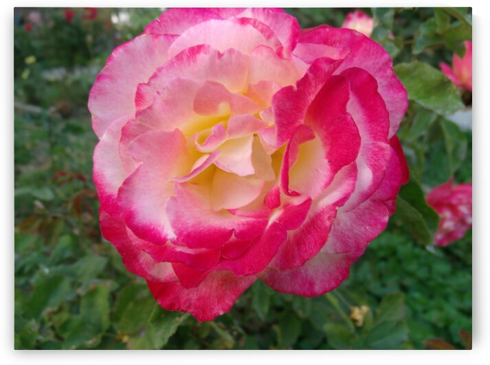 A Pink And Yellow Rose 1 by Sherrie Larch