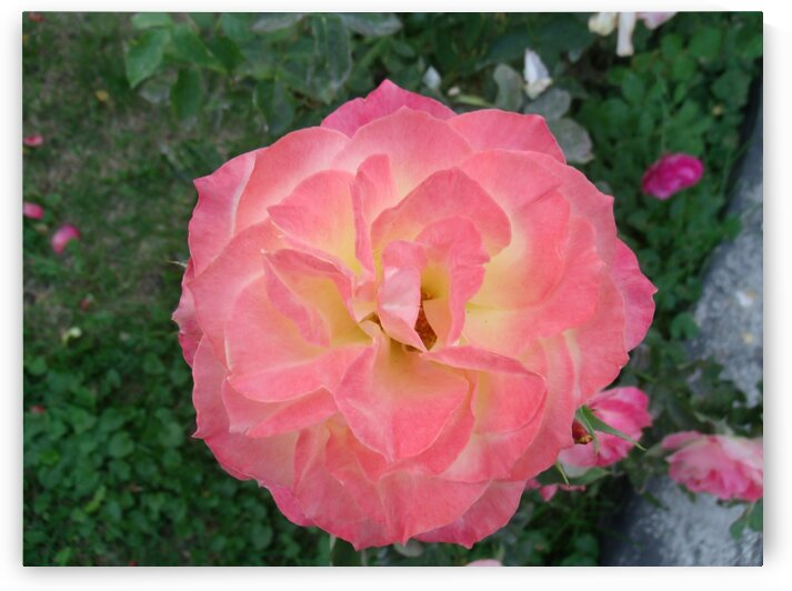 A Pink and Yellow Rose 2 by Sherrie Larch