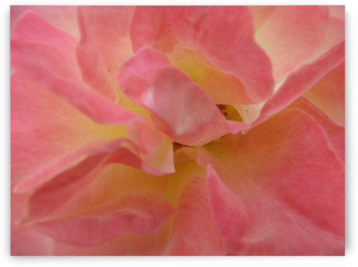 Inside a Pink Yellow Rose 1 by Sherrie Larch