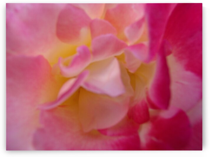 Inside a Pink Yellow  Rose 2 by Sherrie Larch