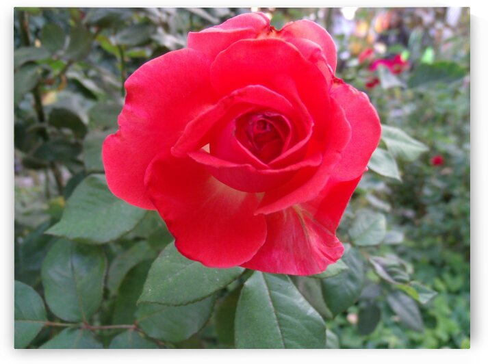 A Red Rose 1 by Sherrie Larch