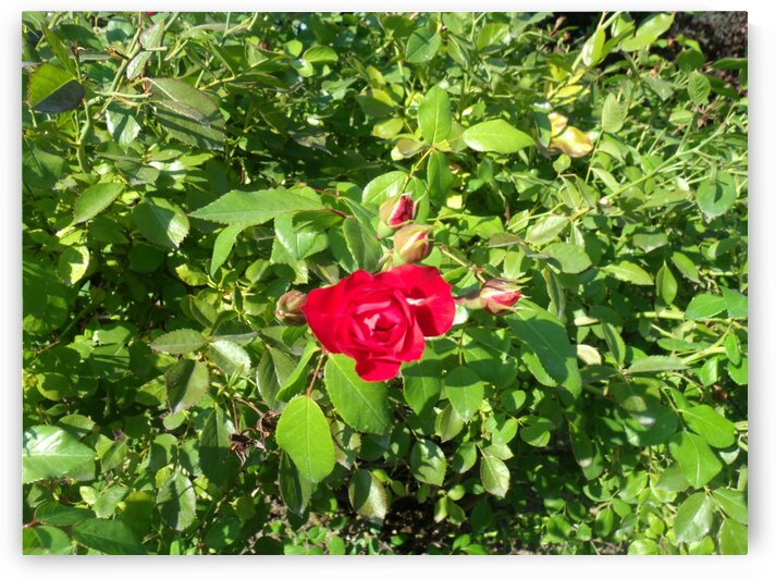 A Single Red Rose by Sherrie Larch