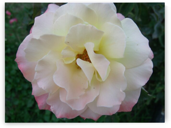 A White Rose 1 by Sherrie Larch