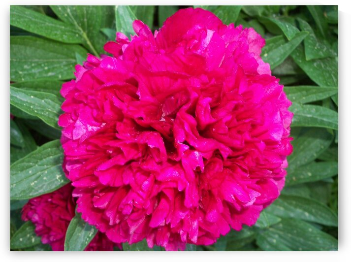 Grandmothers Peony by Sherrie Larch
