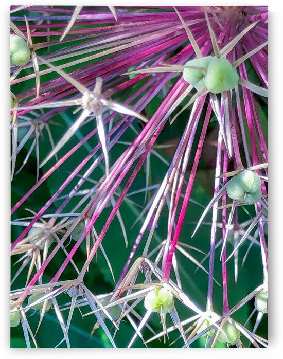 Alium Detail 240121 by BotanicalArt ca