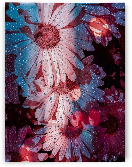 Pink Daisies by BotanicalArt ca