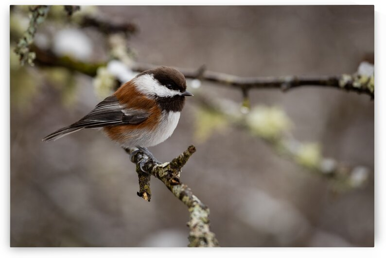 Chestnut Backed Chickadee by Pete Nuij Photography