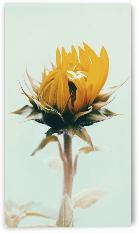 The Shy Sunflower  by Lynnette Brink