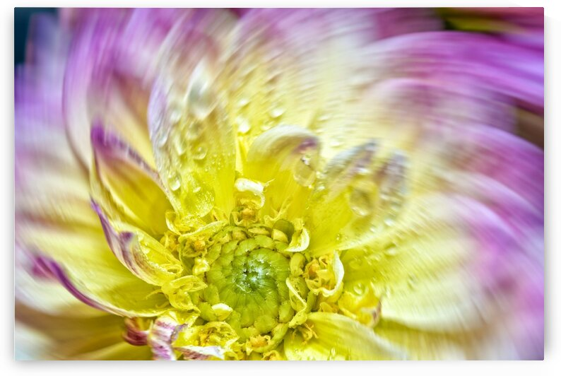 Spin Up Of A Yellow Dahlia by Glauco Meneghelli