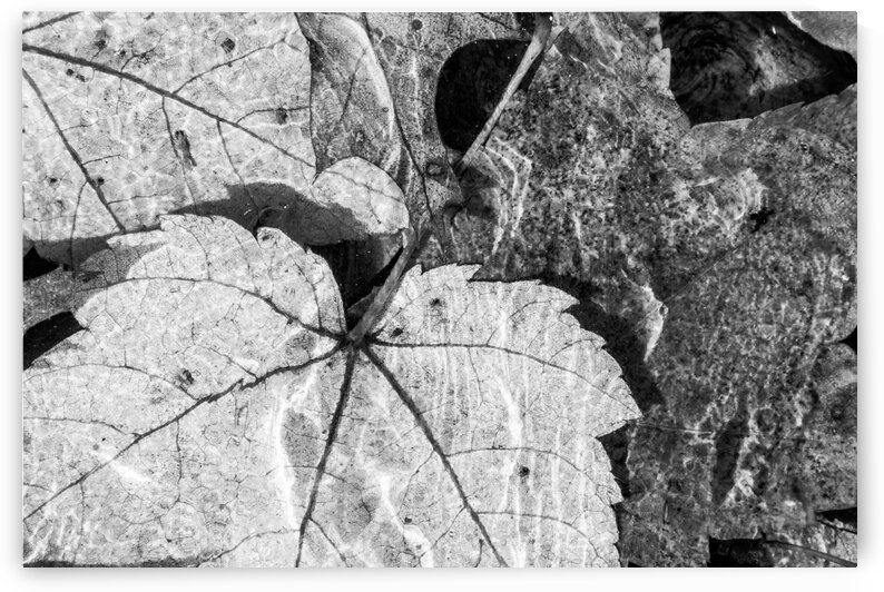 Maple Leaves ap 1812 B&W by Artistic Photography