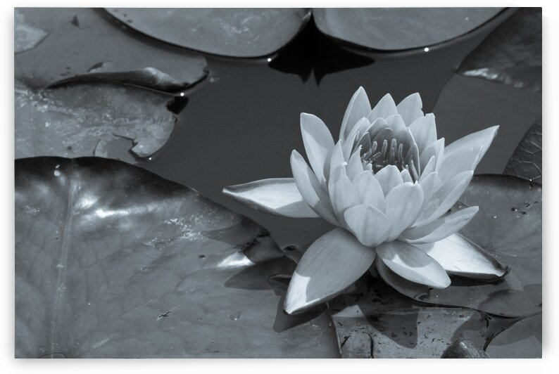 Water Lily ap 1565 B&W by Artistic Photography