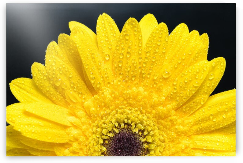 Yellow Gerber Daisy by Glauco Meneghelli