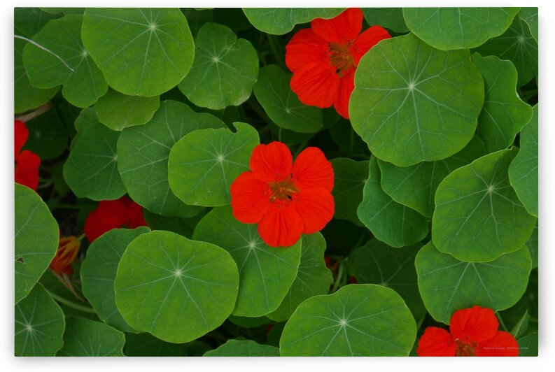 nasturtiums by Dominic