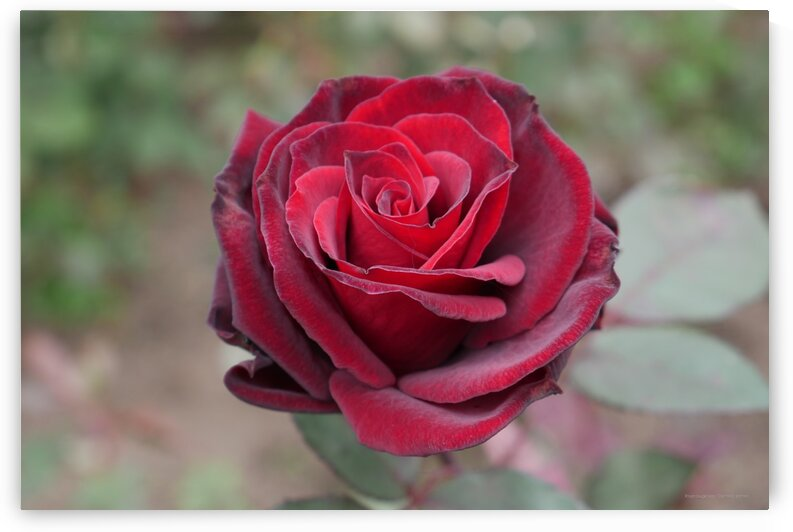 rose rouge by Dominic