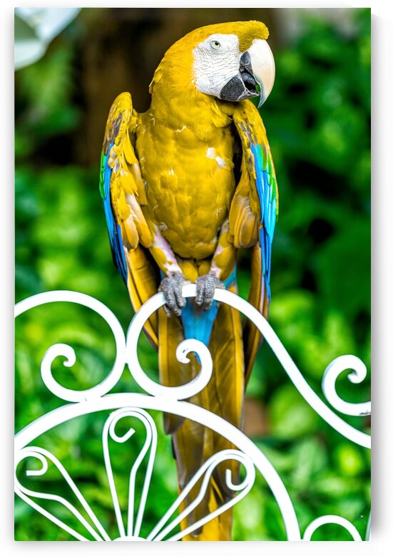 Macaw by Glauco Meneghelli