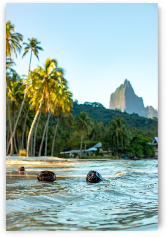 Moorea - coconuts on the beach 1 by Samantha Hemery