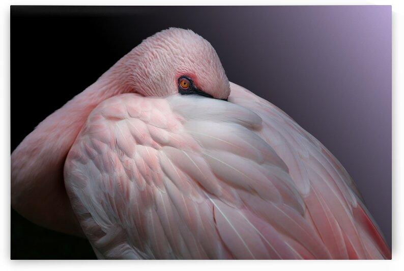 Pink Lesser Flamingo Resting 3x2 by Studio Dalio