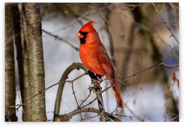 Northern Cardinal by Paul R  O-Toole