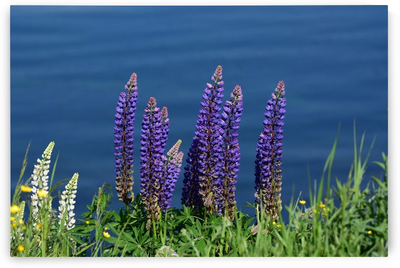 Lupin Flowers by Paul R  O-Toole