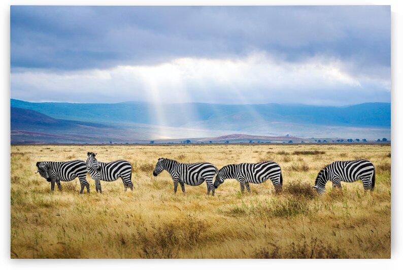 Zebras In The Rain by Lynnette Brink
