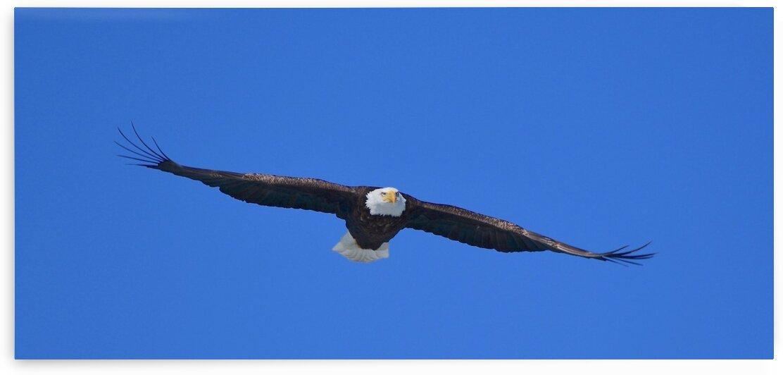 Bald Eagle by Paul R  O-Toole