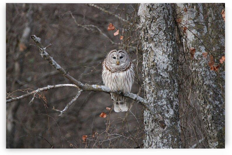 Sleepy Owl by Susan Diann Photography