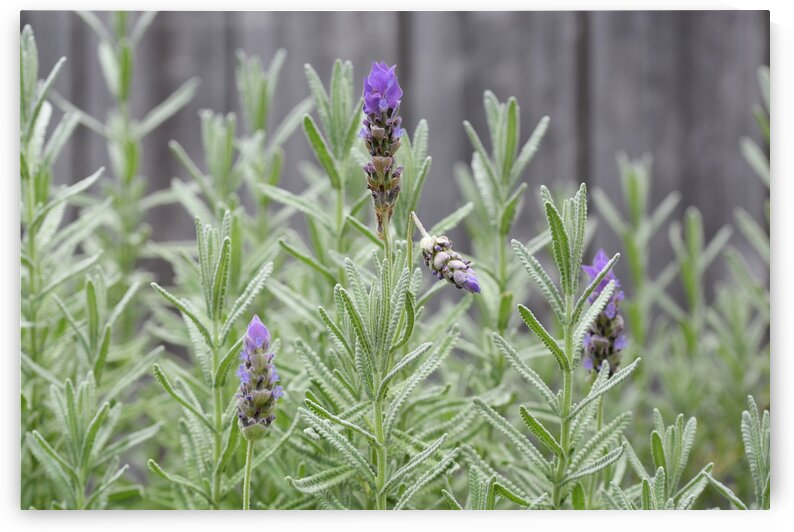 Purple Lavender in Urban Backyard Garden by Michaela Scherr