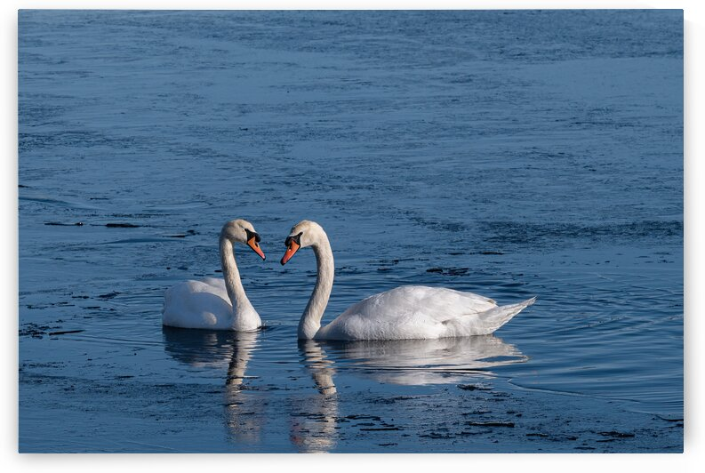 Swans at Heart by Mark Bonchek