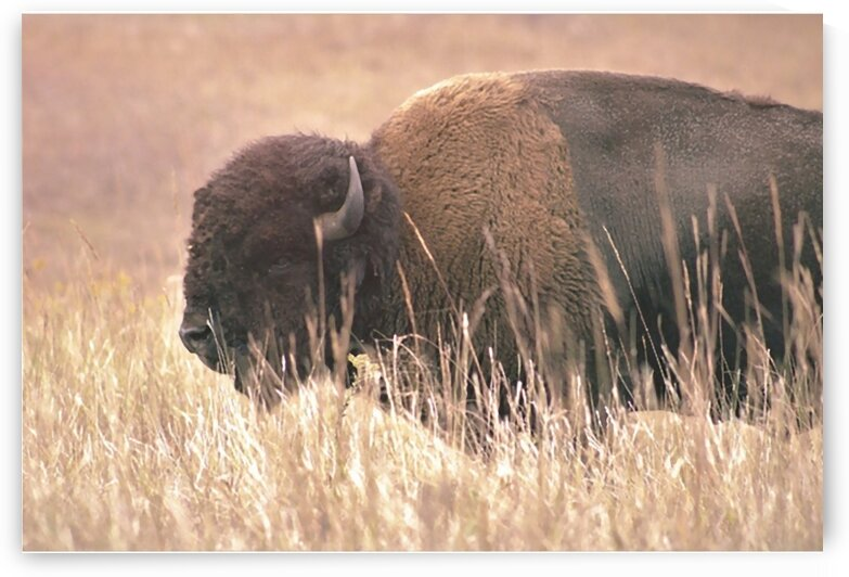 Oklahoma Bison by Susan Diann Photography