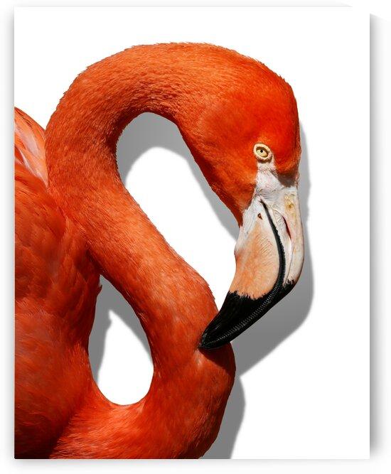 Caribbean Flamingo Right Profile on White 11x14 by Studio Dalio