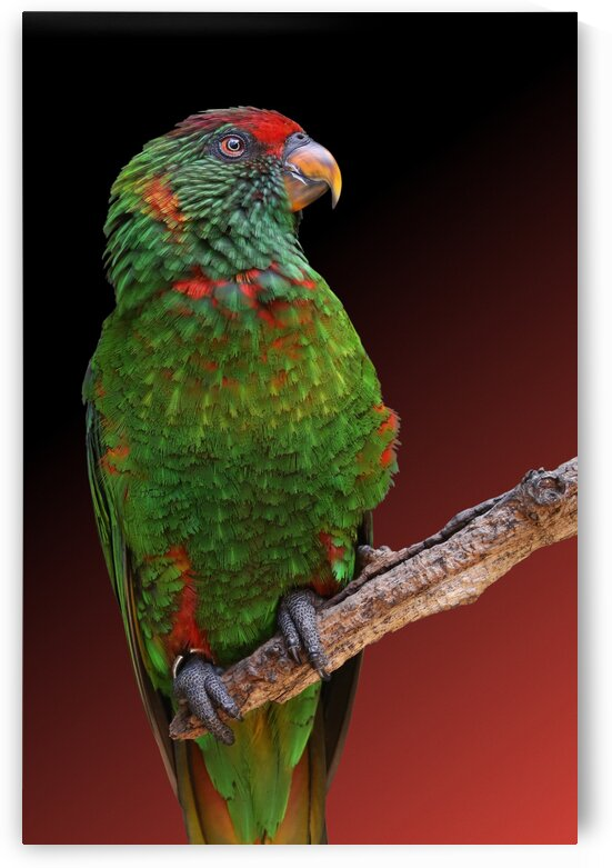 Green Lorikeet Perched on Branch 2x3 by Studio Dalio