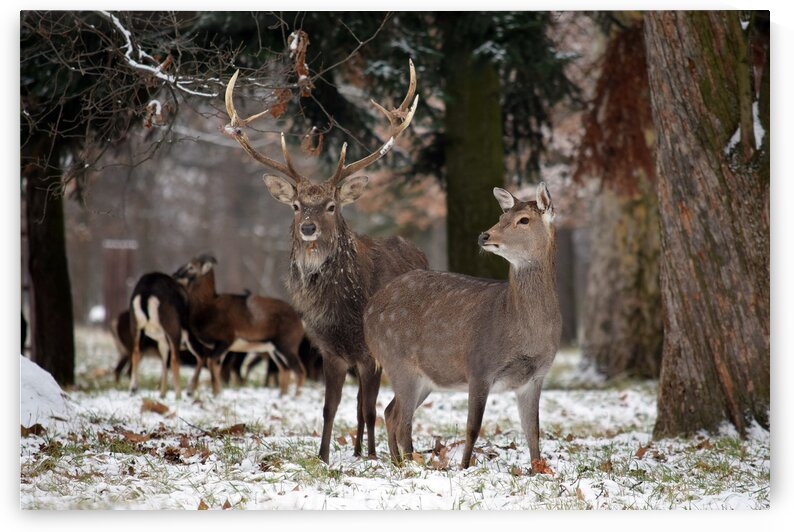 Beautiful Deer Couple in the Forest Winter by Kikkia Jackson