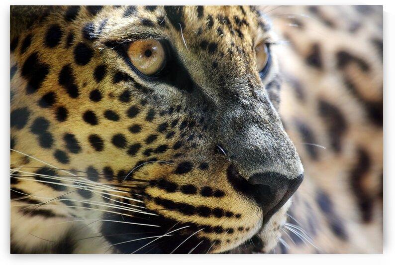 Sri Lankan Leopard Head Close up Portrait  by Kikkia Jackson
