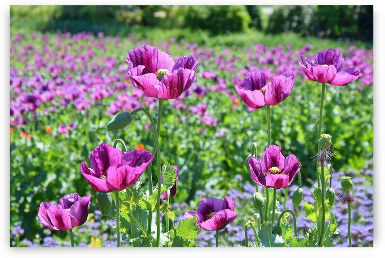 Violet Poppy Field by Kikkia Jackson