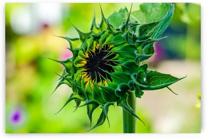 Sunflower 5 by PitoFotos
