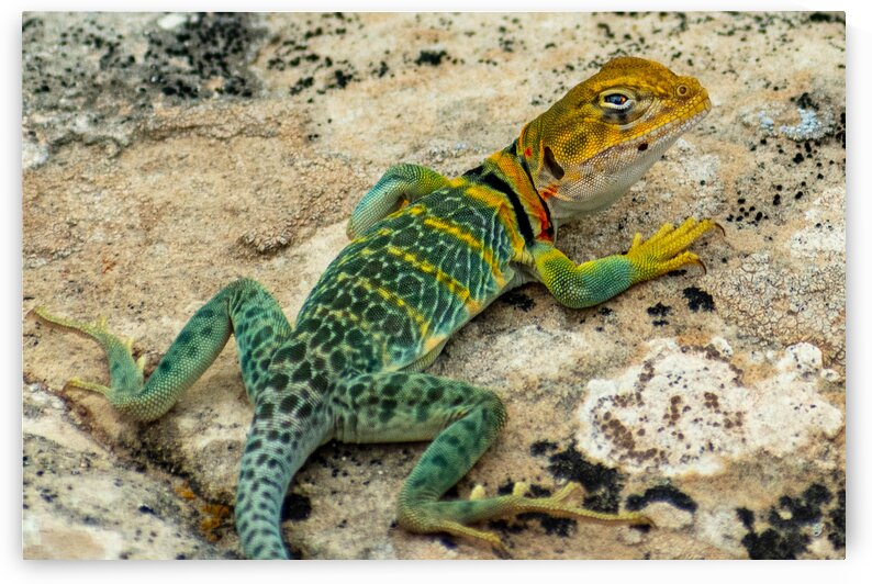 collared lizard by Dave Massender