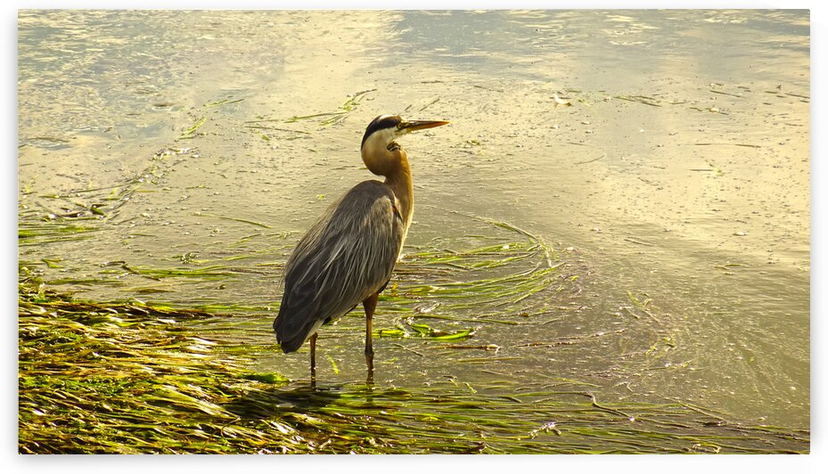 Blue Heron At the Estuary by 1North