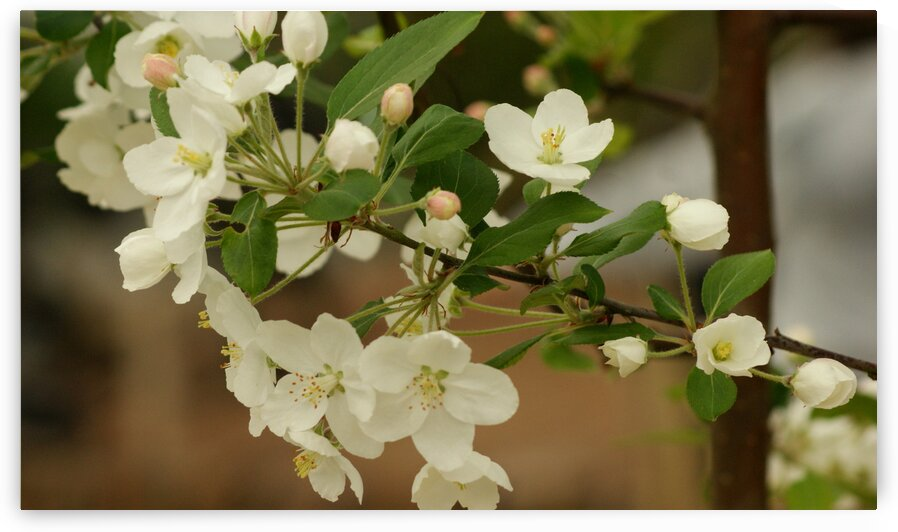 Apple Blossom Tree by Pixcellent Adventures