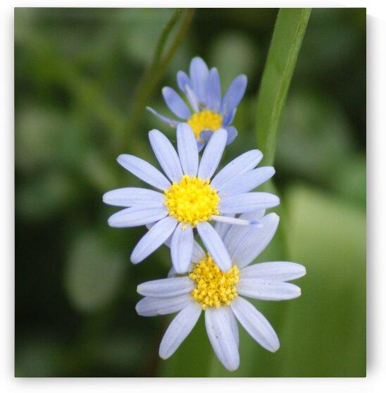 Blue Daisy by Pixcellent Adventures