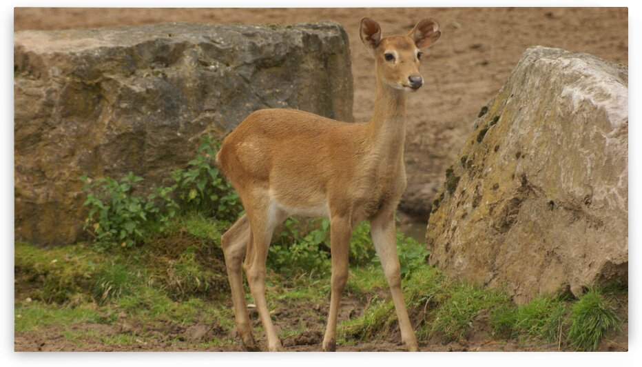 Antelope by Pixcellent Adventures