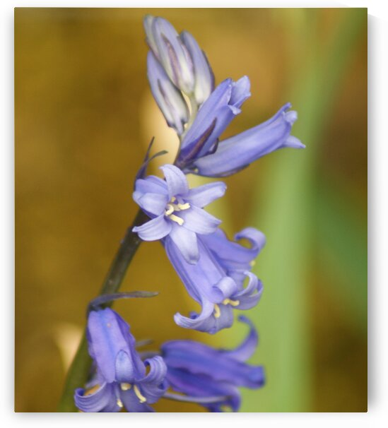 English bluebell by Pixcellent Adventures