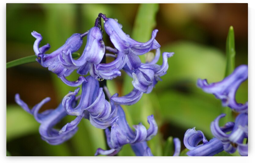 Hyacinthoides by Pixcellent Adventures