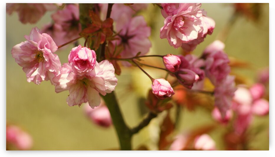 Spring cherry blossom tree by Pixcellent Adventures