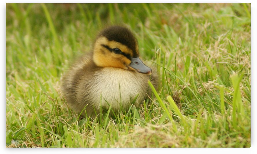 Snuggly duckling  by Pixcellent Adventures